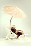 Standard color ferret portrait on beach chair in studio. Ferret portrait on beach chair in studio Stock Photos