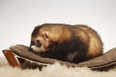 Standard color male ferret on sofa in studio - portrait royalty free stock photos