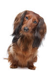 Standard long haired Dachshund Stock Photography