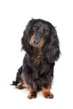 Standard long-haired dachshund. In front of a white background stock photography