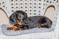 Standard longhaired svart för tax och solbränna - valp Royaltyfria Bilder