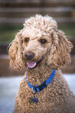 Standard Poodle. Vertical three quarters image of a Standard Poodle with a happy expression Royalty Free Stock Photography