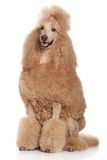 Standard Poodle Stock Image