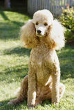 Standard Poodle - Apricot Royalty Free Stock Photography