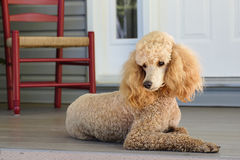 Standard Poodle - Apricot Royalty Free Stock Image