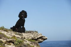 STandard poodle on beach Royalty Free Stock Photo