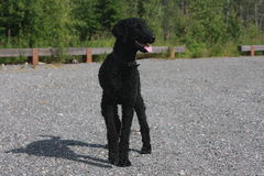 STANDARD POODLE. Black standard poodle,standing on a pebbles Stock Photography