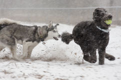 Standard Poodle chased by Husky in snowstorm Royalty Free Stock Photo