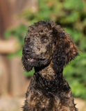 Standard Poodle. Chocolate colored purebred standard poodle 4 months old Royalty Free Stock Image