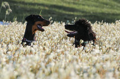 Standard Poodle and Doberman dogs playing. Standard poodle and his mate, a Doberman playing in the spring flowers stock photos