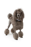 Standard Poodle Dog With Bow Tie Royalty Free Stock Photography