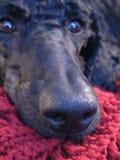 Standard Poodle Gaze. Macro of a trusting gaze of a Standard Poodle royalty free stock photo