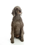 Standard Poodle Grey royalty free stock photography