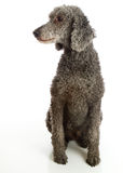 Standard Poodle Grey Stock Photo