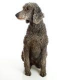 Standard Poodle Grey. Grey Standard Poodle sitting white background stock photo