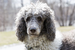 Standard poodle. Head shot of a gray and white standard poodle shot on natural light in a grayish background Royalty Free Stock Photo