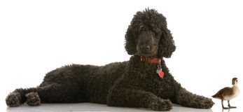 Standard poodle with mallard duck. Hunting dog - black standard poodle and a young baby mallard duck Royalty Free Stock Image