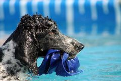 Standard Poodle. Parti Standard Poodle retrieving object in water competition exercise Royalty Free Stock Image