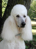 Standard Poodle Portrait Royalty Free Stock Photography