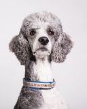 Standard poodle portrait Stock Photography