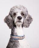 Standard poodle portrait Stock Photography