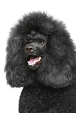 Standard poodle portriat royalty free stock photo