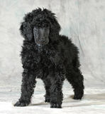 Standard poodle puppy Stock Photography