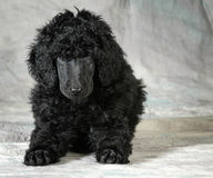 Standard poodle puppy Royalty Free Stock Image