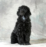 Standard poodle puppy Stock Images