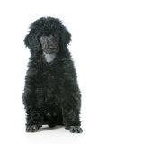 Standard poodle puppy Royalty Free Stock Photos