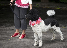 Standard Poodle in red and white on Canada Day. A Black and White Parti-Poodle is decked out in a patriotic red and white maple leaf scarf on Canada Day Stock Photo