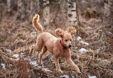 Standard poodle running on icy forest path in springtime.  stock images