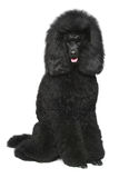 Standard poodle on a white background Stock Photo