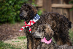 Standard Poodles. Chocolate and silver  colored purebred and standard poodles 4 months old Stock Images