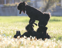 Standard Poodles playing. Two black standard poodles playing in the spring flowers royalty free stock photo