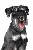 Standard Schnauzer, 1 years old, isolated on white. Background Stock Photo