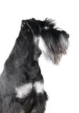 Standard Schnauzer, 1 years old, isolated on white. Background Stock Photography