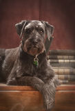 Standard schnauzer Stock Photos