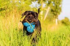Standard Schnauzer dog walks on the meadow Royalty Free Stock Photography