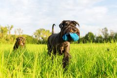 Standard Schnauzer dog walks on the meadow Royalty Free Stock Image