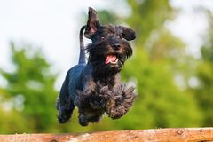 Free Standard Schnauzer Jumps Over A Wooden Beam Stock Photography - 100429592