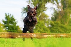 Standard schnauzer jumps over a wooden beam Stock Images