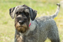 Standard schnauzer (mittelschnauzer) Royalty Free Stock Photo