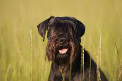 Standard schnauzer portrait. Standard schnauzer sitting in the meadow, the hairs hanging over the eyes Stock Photos