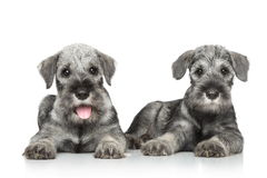 Standard schnauzer puppies Stock Photos