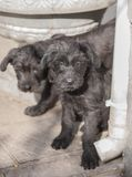 Standard schnauzer puppies child Royalty Free Stock Photography