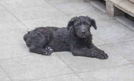 Standard schnauzer puppies child Stock Photo