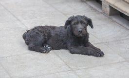 Standard schnauzer puppies child Stock Photo