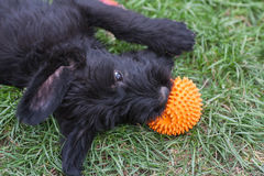 Standard schnauzer puppies child Stock Photos