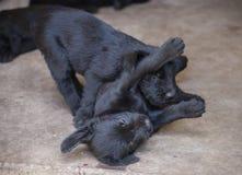 Standard schnauzer puppies Stock Photos